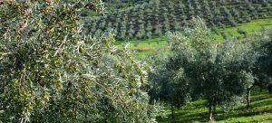 Aceite de oliva virgen extra ecológico 3 Hojas - Hacienda Bellavista